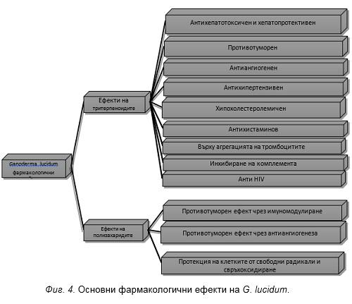 Основни фармакологични ефекти на G. lucidum