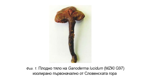 Плодно тяло Ganoderma Lucidum